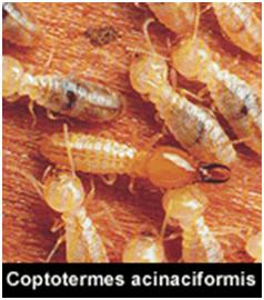 Melbourne Termite Breed